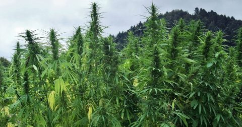 Slowly But Surely, Cannabis Licenses Are Being Issued in Jamaica