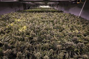 Indoor Marijuana Grow Operation Photo by Shutterstock