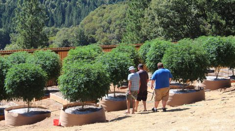 Five Cannabis Innovations in Northern California